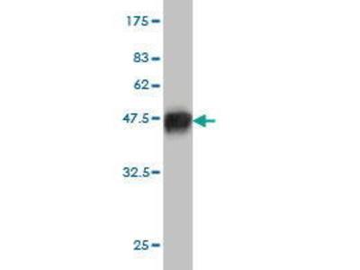 Mouse Anti-LONRF3 Antibody