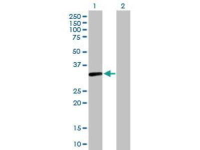 Mouse Anti-S1PR4 Antibody