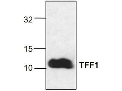 Rabbit Anti-Trefoil Factor 1 Antibody