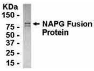Chicken Anti-N-Ethylmaleimide Sensitive Factor Attachment Protein, gamma Antibody