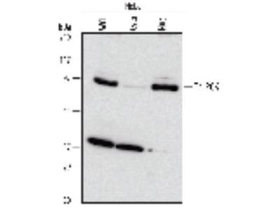 Mouse Anti-ZBTB7B Antibody