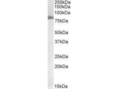 Goat Anti-TGM2 Antibody