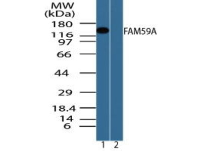 Rabbit Anti-FAM59A Antibody