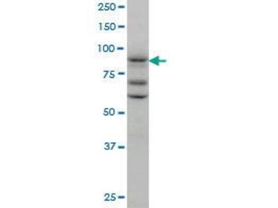 Mouse Anti-TAX1BP1 Antibody