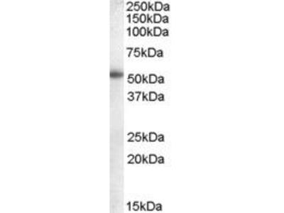 Goat Anti-CYP19A1 Antibody