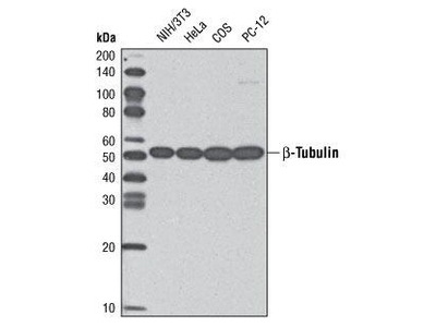 Rabbit Anti-Tubulin, beta Antibody (HRP)