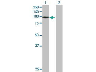 Mouse Anti-WHSC1L1 Antibody