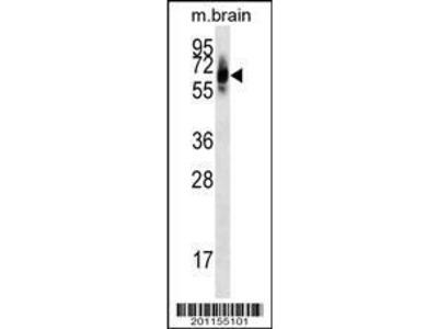 Mouse Anti-PTPN11 Antibody