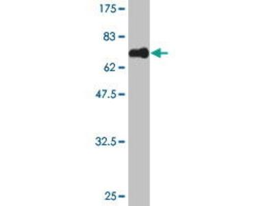 Mouse Anti-MAGEB1 Antibody