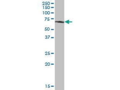 Mouse Anti-GPC5 Antibody