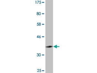 Mouse Anti-PER3 Antibody
