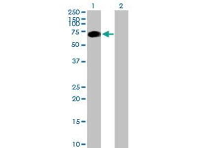 Mouse Anti-SRPK3 Antibody