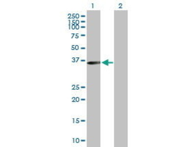 Mouse Anti-MLST8 Antibody
