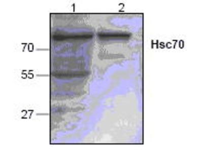 Rabbit Anti-Hsc70 Antibody