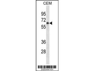 Mouse Anti-FCGR3A Antibody