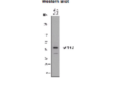 Goat Anti-GAPDHS Antibody