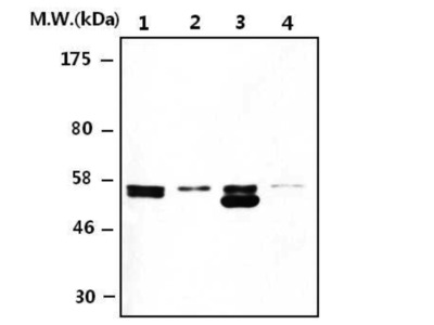 Rabbit Anti-Thioredoxin Reductase 2 Antibody