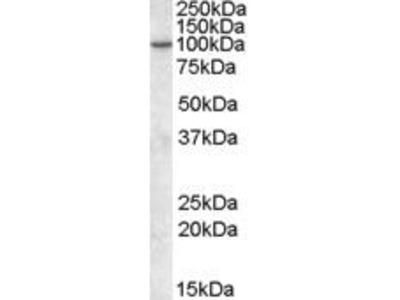 Goat Anti-Phosphoinositide 3 Kinase Enhancer, CT Antibody