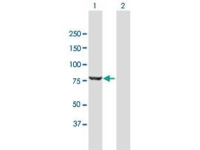 Mouse Anti-PUS7L Antibody