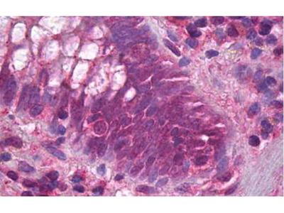 Rabbit Anti-Fas Antibody