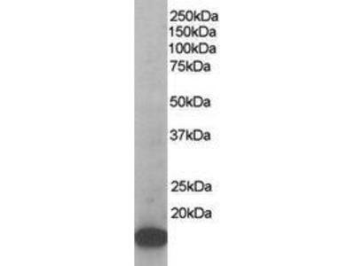 Goat Anti-ARPC3 Antibody