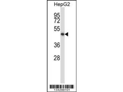 Rabbit Anti-KCNK10, CT Antibody