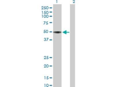 Apolipoprotein H / ApoH Antibody