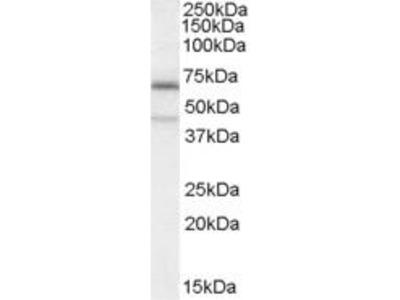 Goat Anti-C14orf169 Antibody