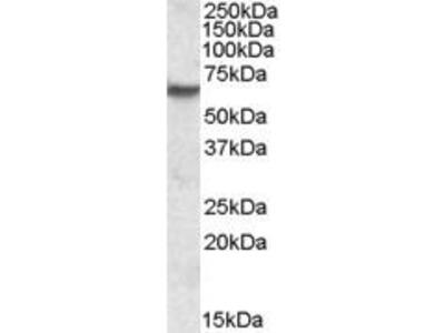 Goat Anti-Inosine Monophosphate Dehydrogenase 2 Antibody