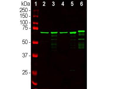 Chicken Polyclonal NF-L Antibody