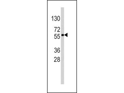 Rabbit Anti-SOX9, ID Antibody