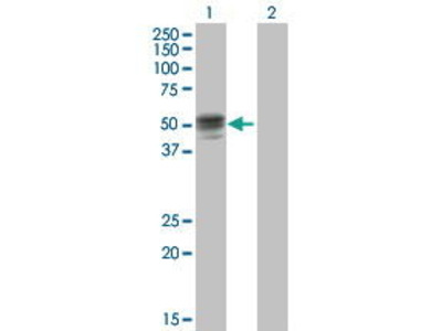 Mouse Anti-GIF Antibody