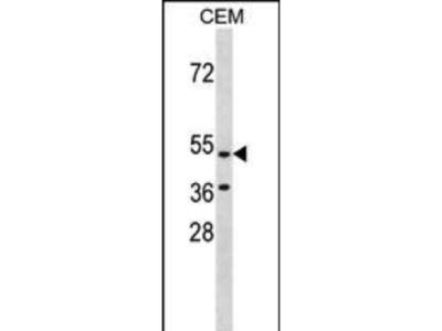Rabbit Anti-GPR109B, NT Antibody