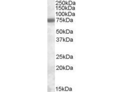 Goat Anti-Exosome Component 9 Antibody