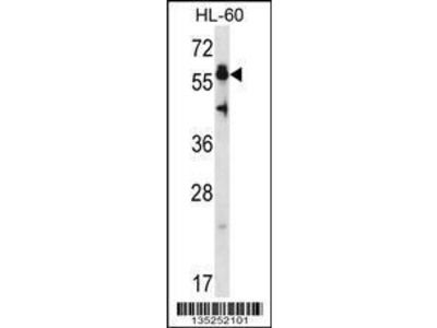 Rabbit Anti-HSF4, NT Antibody