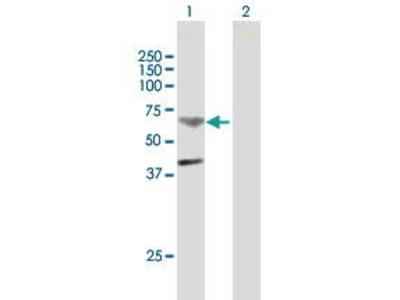 Mouse Anti-TMPRSS11B Antibody