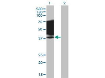 Mouse Anti-SLAMF1 Antibody
