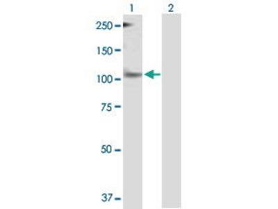 Mouse Anti-Period Clock Protein 1 Antibody