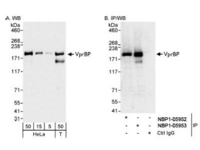 VprBP Antibody
