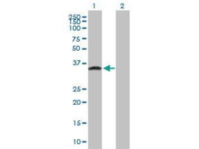 Mouse Anti-GPN3 Antibody