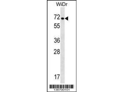 Rabbit Anti-NOX1, ID Antibody