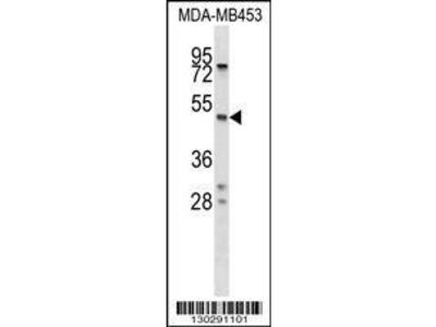 Rabbit Anti-SERPINA5, NT Antibody
