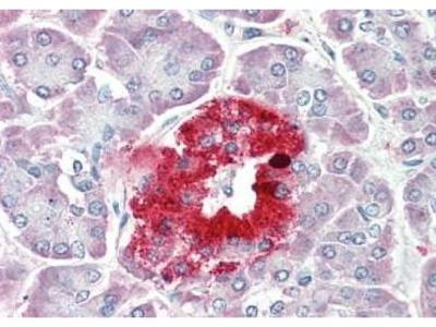 Goat Anti-PCSK1N Antibody