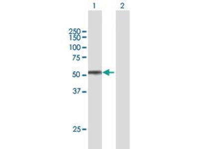 Mouse Anti-SPOCK2 Antibody