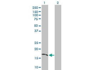 Rabbit Anti-TMEM54 Antibody