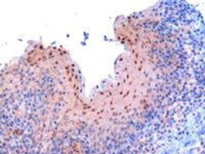 Goat Anti-RanBP9 Antibody