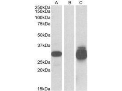 Goat Anti-PPPDE1 Antibody