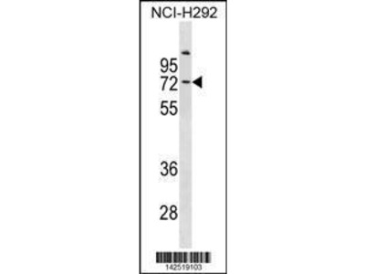 Rabbit Anti-COL9A3, ID Antibody