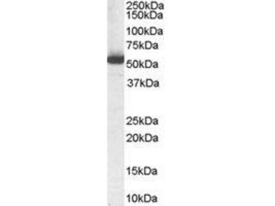 Goat Anti-ALDH1A1, ID Antibody