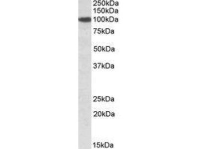 Goat Anti-SEC23A Sec23 Homolog A Antibody